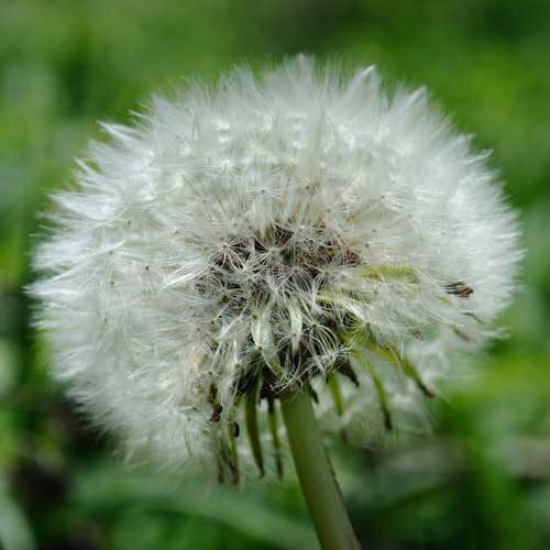 dandelion seed head