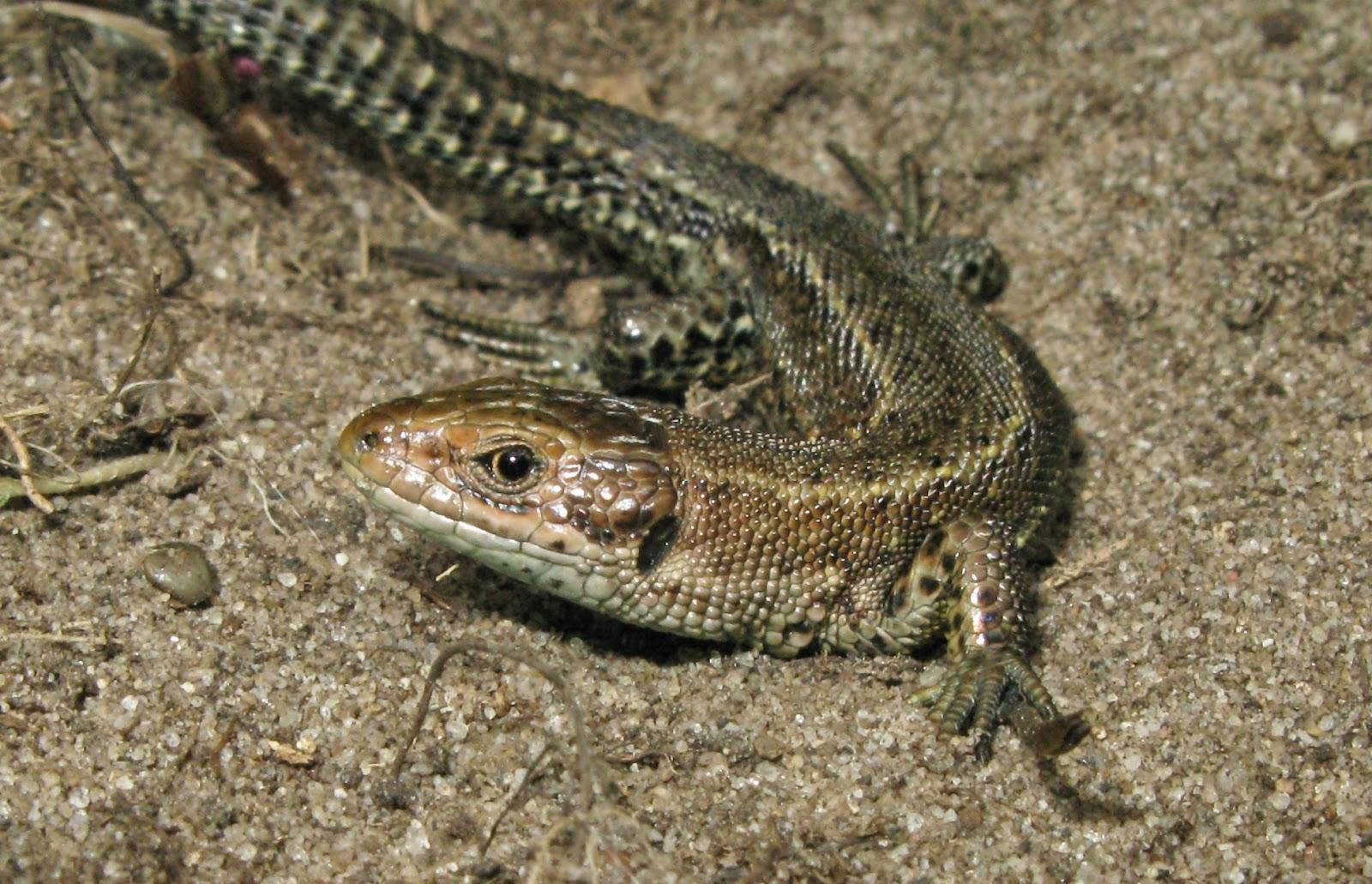 U S Lizard Steve's Bir...