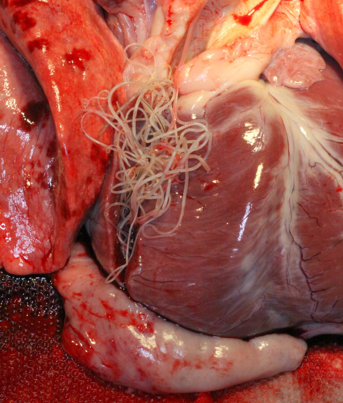Dog Law Reporter: Antitrust Rules and Heartworm ... Heartworm Adult