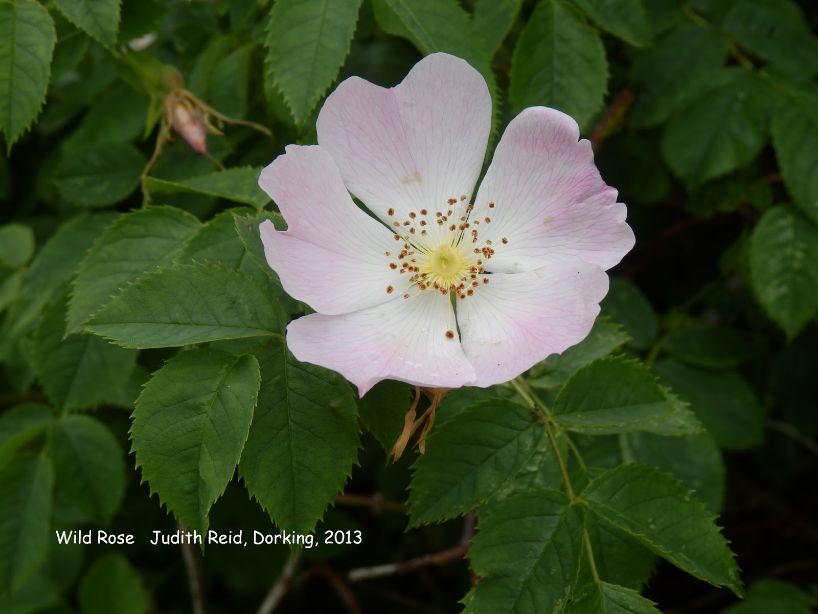 Wild rose bach flower