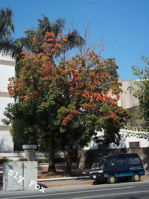 台南茄苳樹