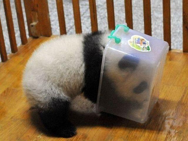 Foto Bayi Panda