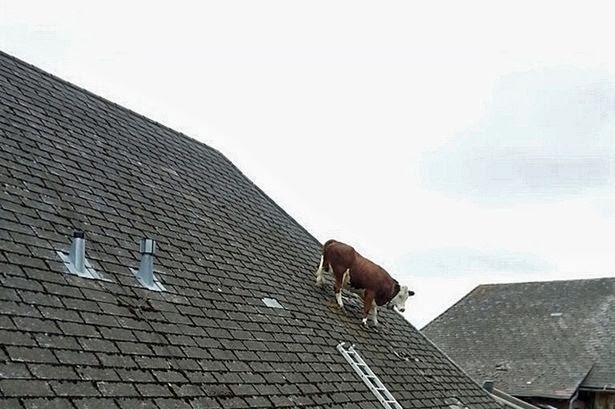 """Tay đua xe đạp Rolf Steiner cho biết: """"Tôi không thể tin vào mắt mình và phải nhìn ba lần để chắc chắn rằng tôi đã nhìn thấy những gì tôi nghĩ rằng tôi đã nhìn thấy.  """"Một con bò trên mái nhà."""""""