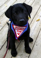 "A small black lab puppy (seven weeks old) is sitting on a wooden deck looking at the camera. The lab is wearing a blue bandana with a white patch that has red words saying, ""Future Leader Dog"" with a red paw print. A brown leash is attached to the puppy's collar."