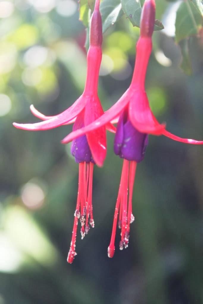 Flores de chilco