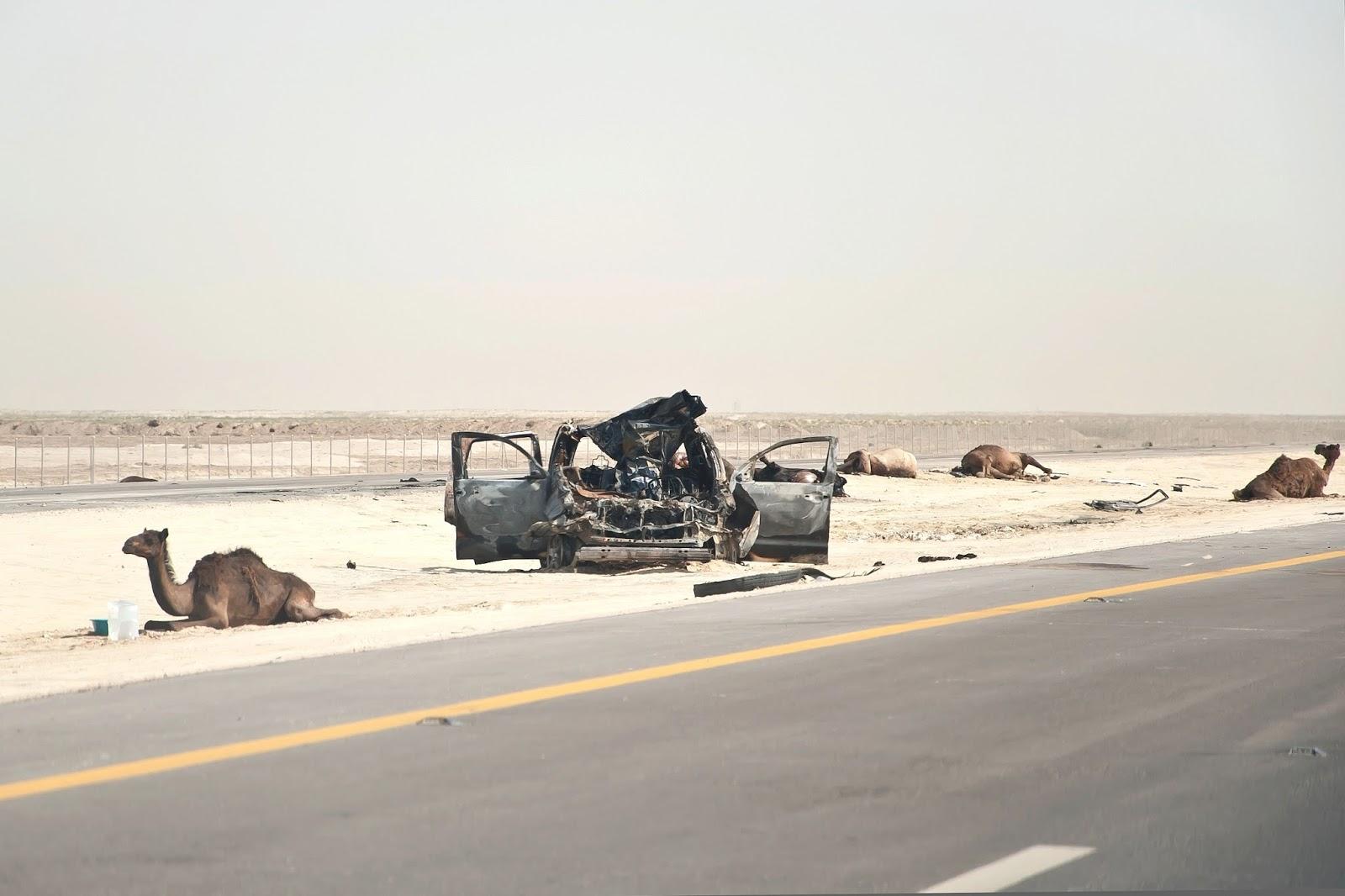 Wypadek z wielbłądami (uwaga - drastyczne zdjęcie)