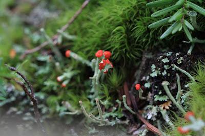 Lichen – Lipstick Cladonia