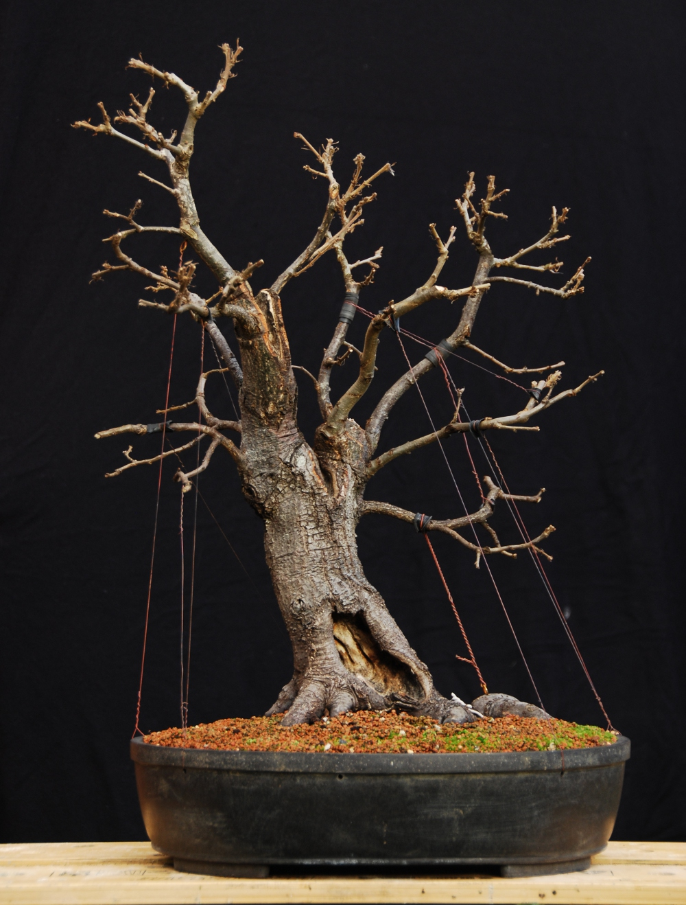 silva naturalis naturalistic oak bonsai with guy wires rh silvanaturalis blogspot com Bonsai Wire Sizes Bonsai Copper Wire