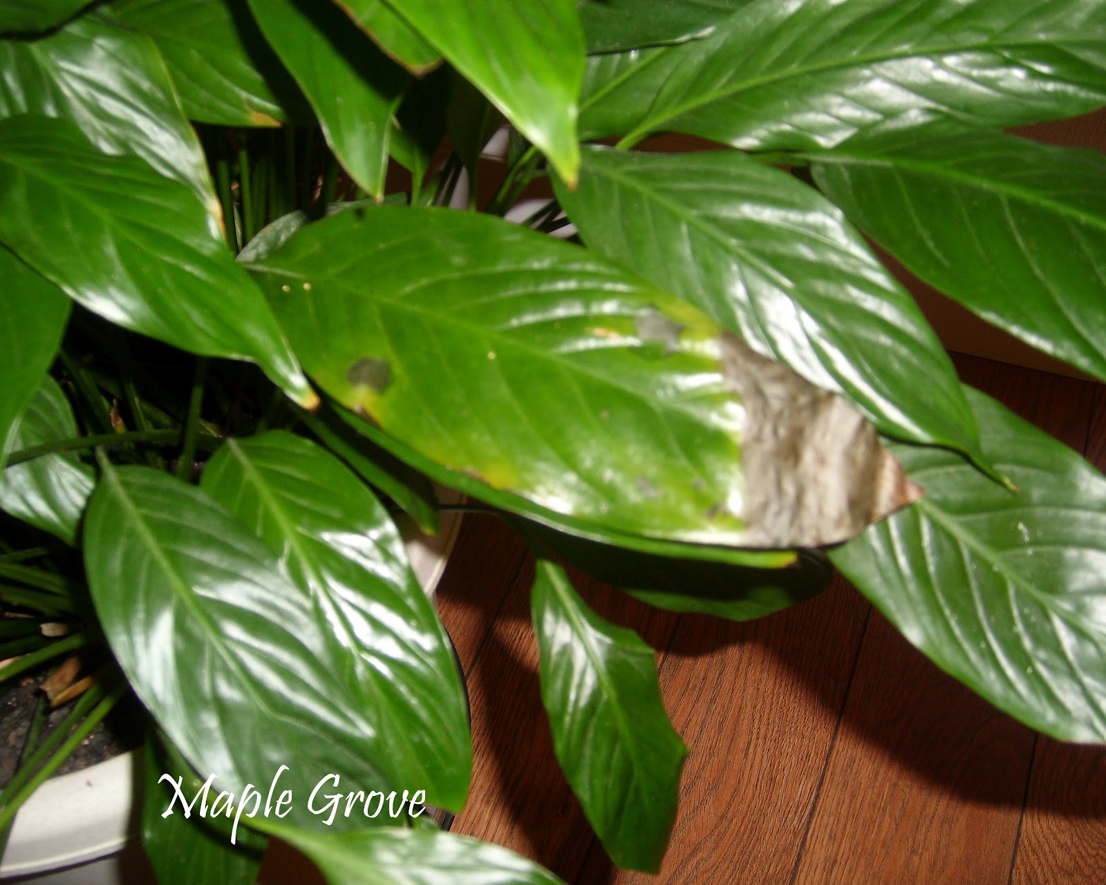 Maple grove houseplant makeover damaged leaf on the peace lily plant deterioration like this can be caused by under watering burn out from direct sunlight insects or breakage izmirmasajfo