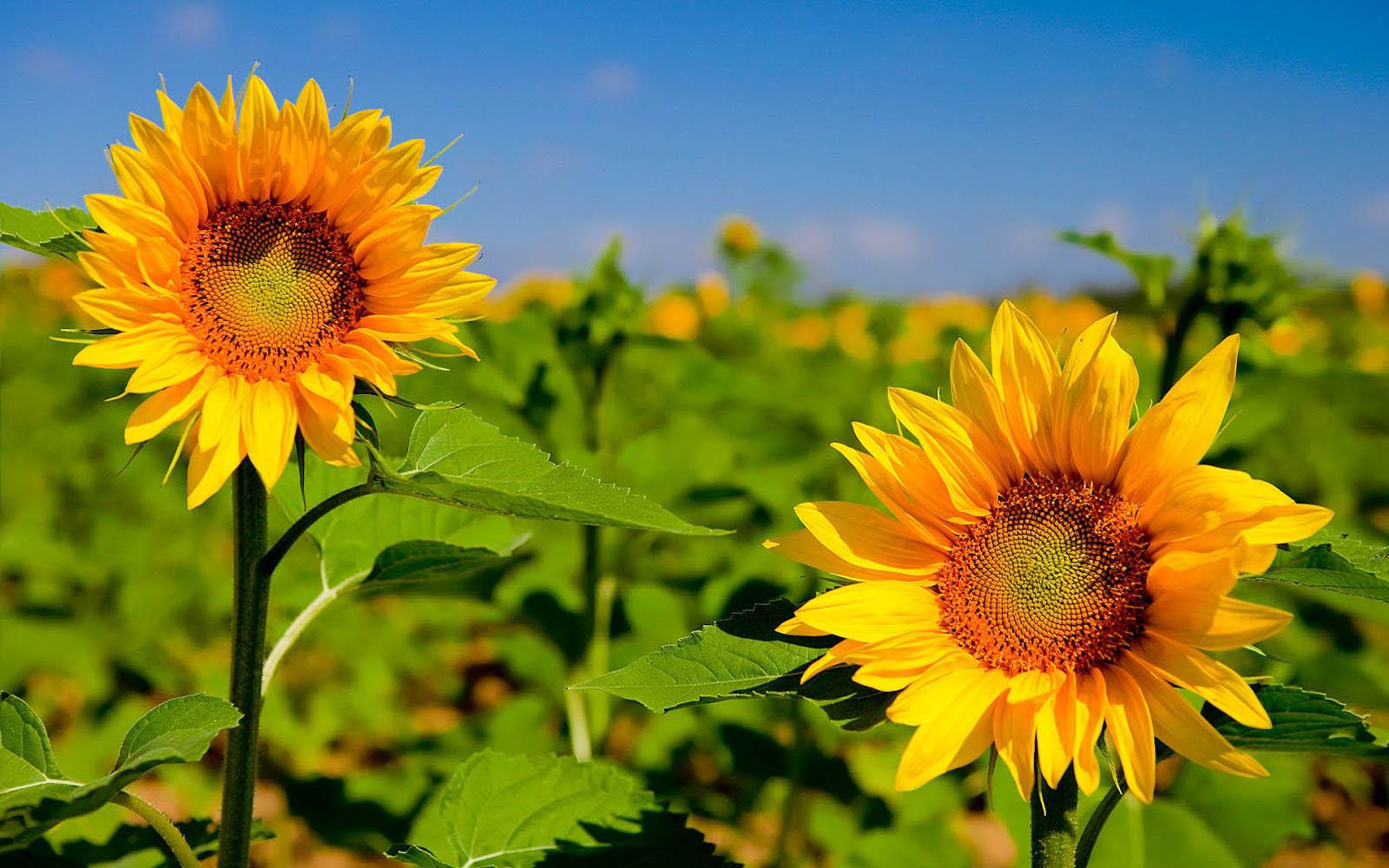 Sunflower Beautiful Wallpapers Hd Wallpapers