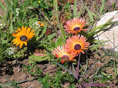 Wildflowers-Western_Cape-P9200061 ESTAS SON LAS FLORES DE SUDAFRICA