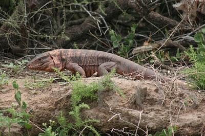 Iguana colorada Tupinambis rufescens