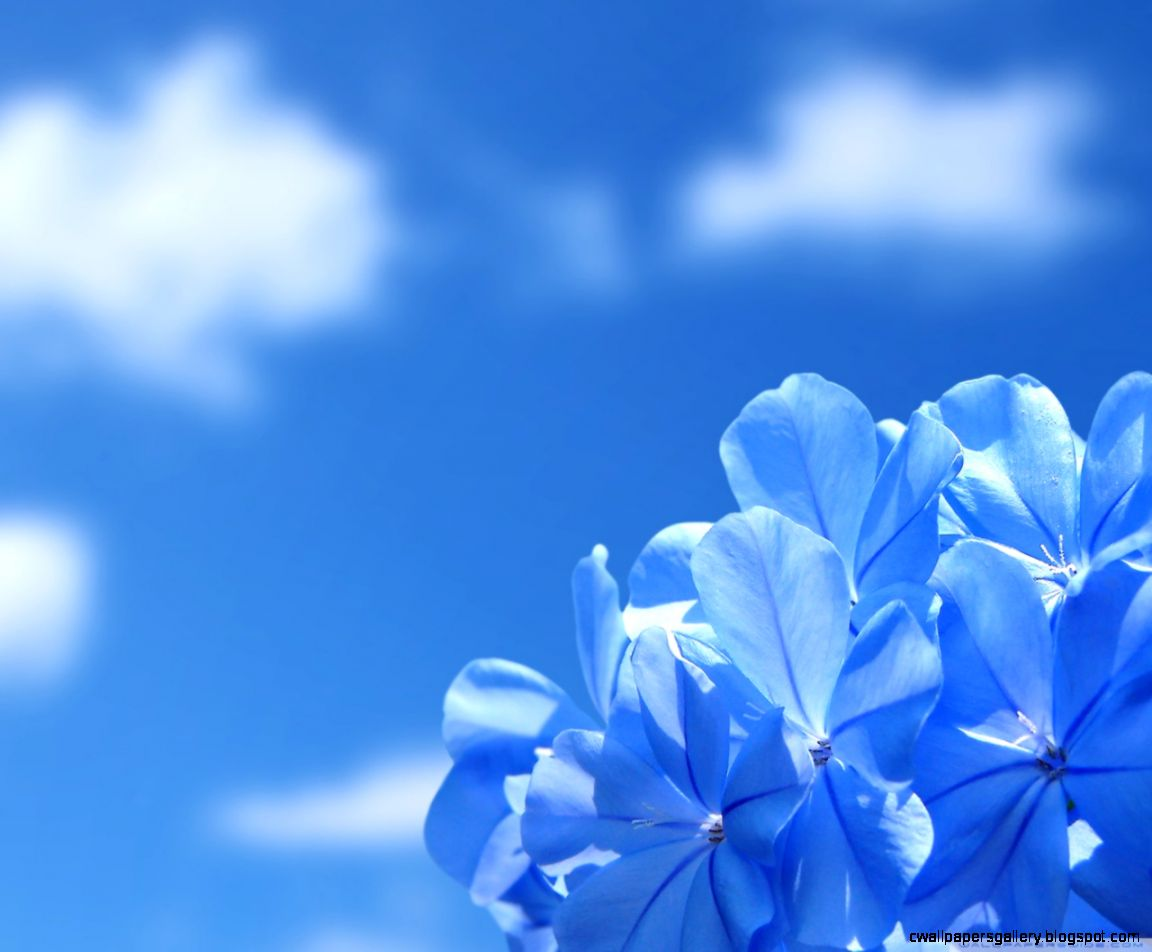 Blue Flowers HD desktop wallpaper  Widescreen  High Definition