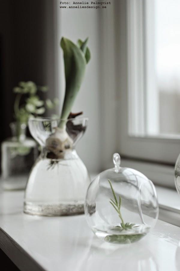 glaskupor med gröna växter, glaskupa, grön växt, gröna växter, växter med synliga rötter, tuplan, lök, lökar, fönsterbänk, fönsterbänken, vitt, vit, vita, glas, tulpaner,
