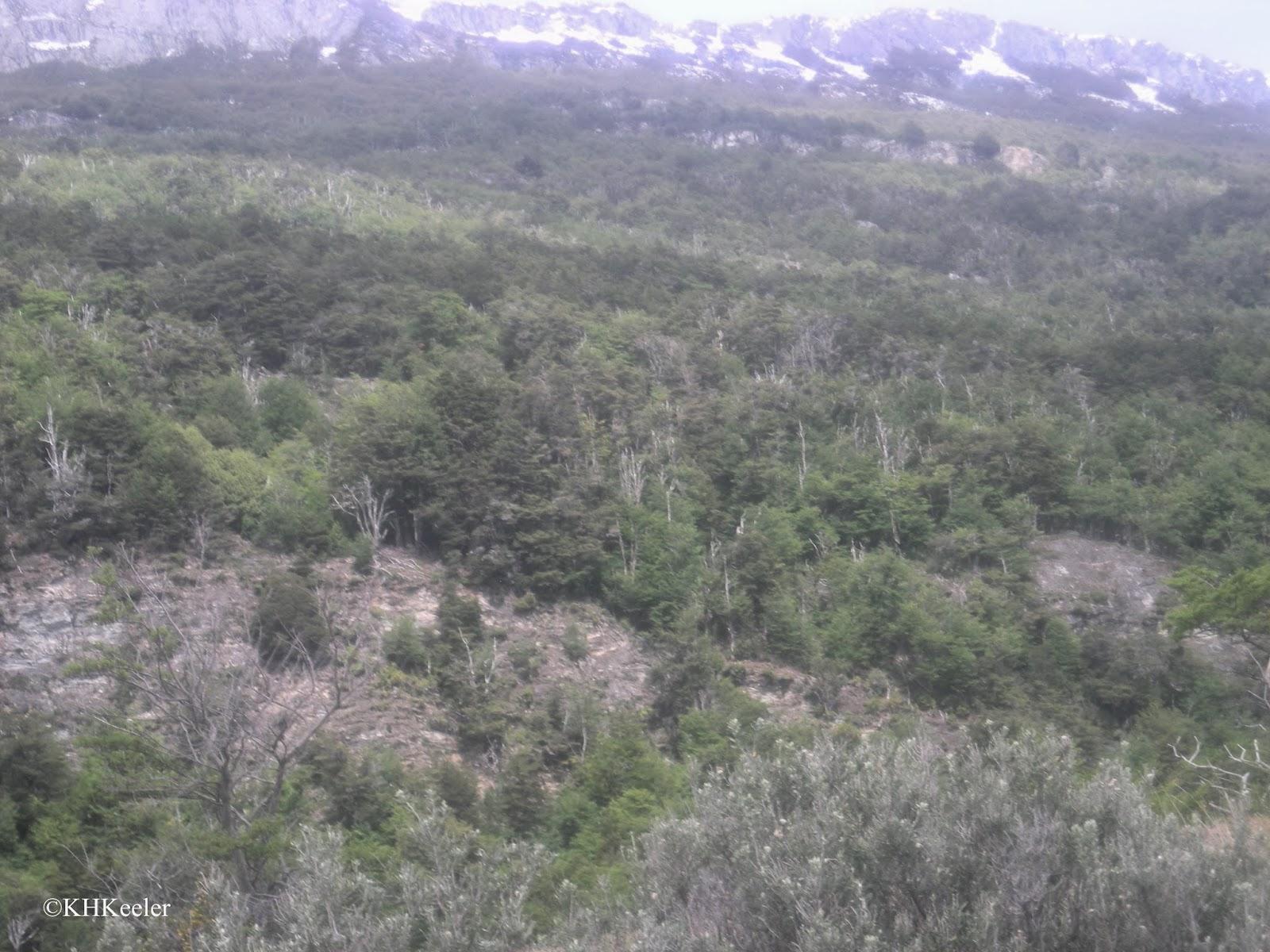 scrubby forest, Tierra del Fuego