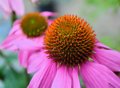 photo of echinacea plant in rockaway beach oregon by Nancy Zavada