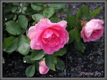 Ruusu Prairie Joy