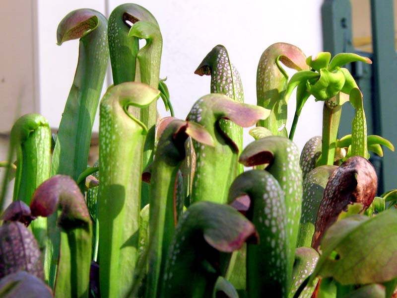 Pitcher plants in Leslie's garden ... they eat flies