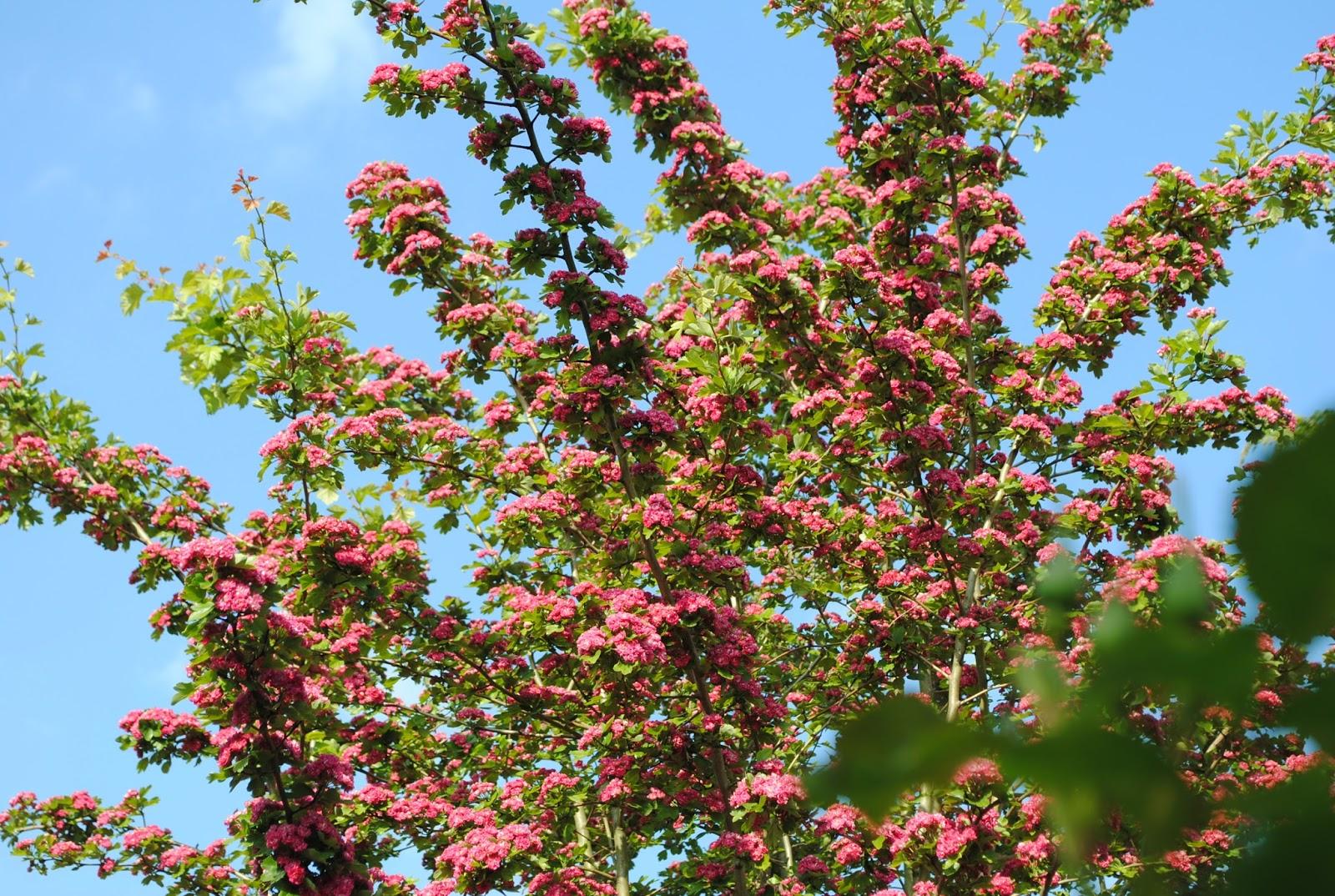 La passion d 39 anne marie mes arbres pour mon petit jardin for Quel arbre pour petit jardin