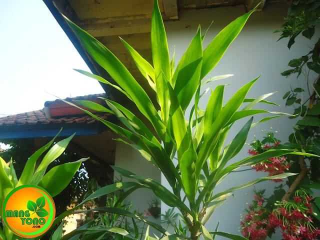 Cara menanam pohon suji. Foto pohon suji di taman admin ...