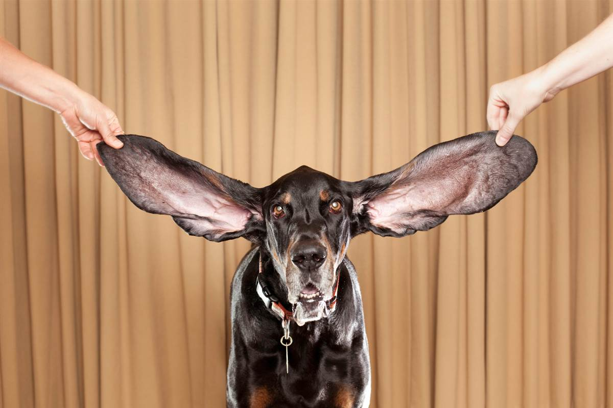 Longest Ears On A Dog