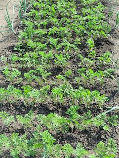 Между рядками морковки - канавки