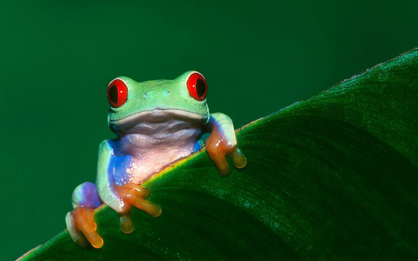 Groene Kikker Op Groen Blad Mooie Leuke Achtergronden