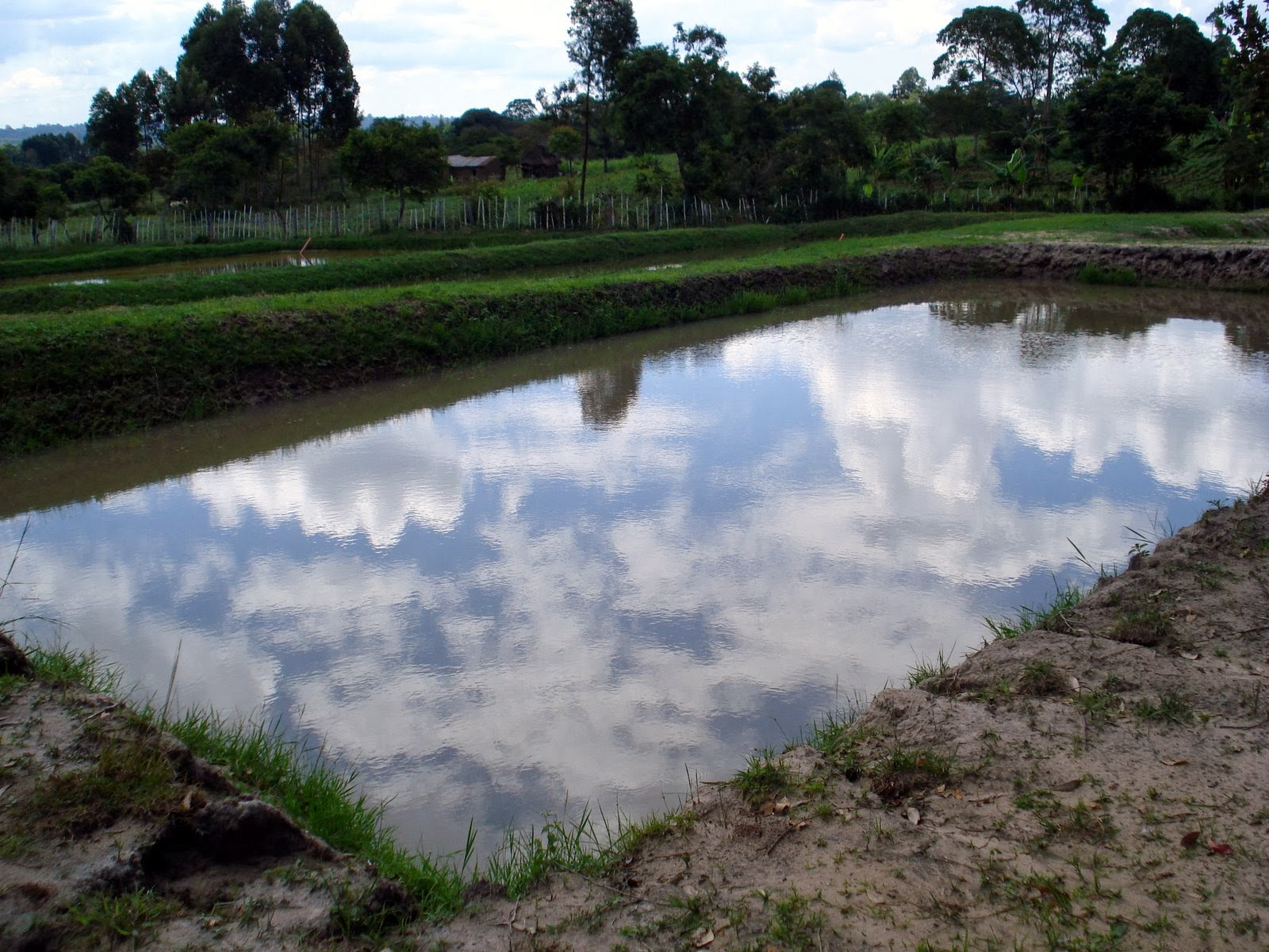 Jon and marianne hunter in kenya tilapia fish farm ponds for Farm pond fish