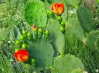 Ciri khusus kaktus