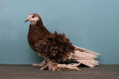 THE FRILLBACK PIGEON