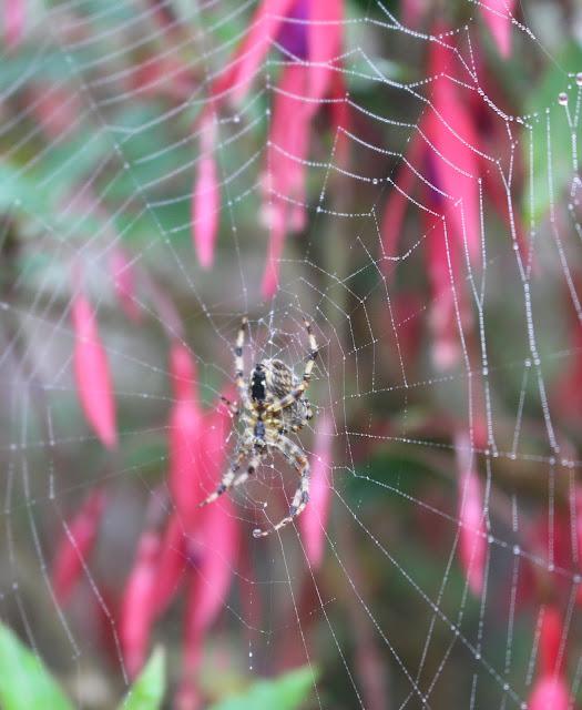 autumn spiders false black widow