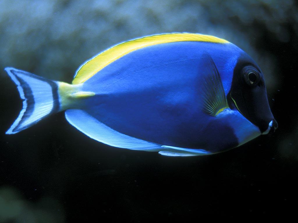 http://3.bp.blogspot.com/-aNosswwIo1I/TlwWuM488ZI/AAAAAAAABRw/9BBGd7BzZjE/s1600/blue-fish-wallpapers_6581_1024.jpg