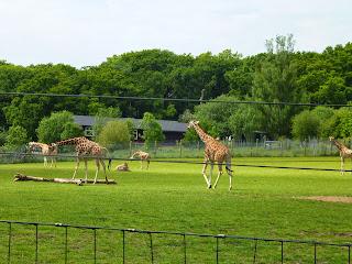 giraffe Marwell Zoo