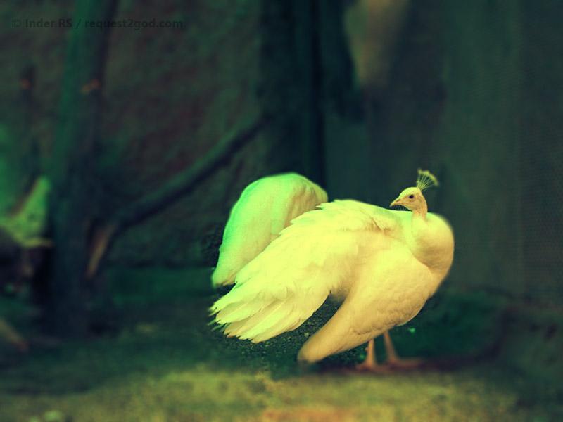 white peahen