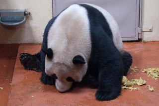 Panda enjoying panda cake