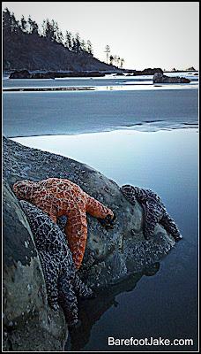 olympic starfish