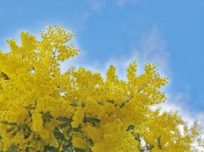 Pieve Ligure Mimosa