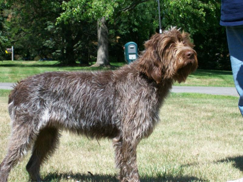 Wirehaired Pointing Griffon Gun Dog