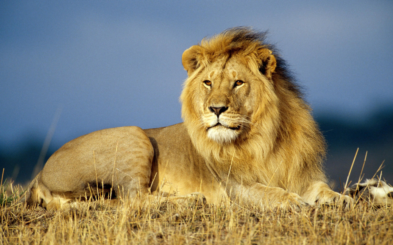 lion wallpapers for desktop funny animal
