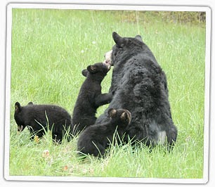 http://www.dgif.virginia.gov/wildlife/bear/black-bear-facts/