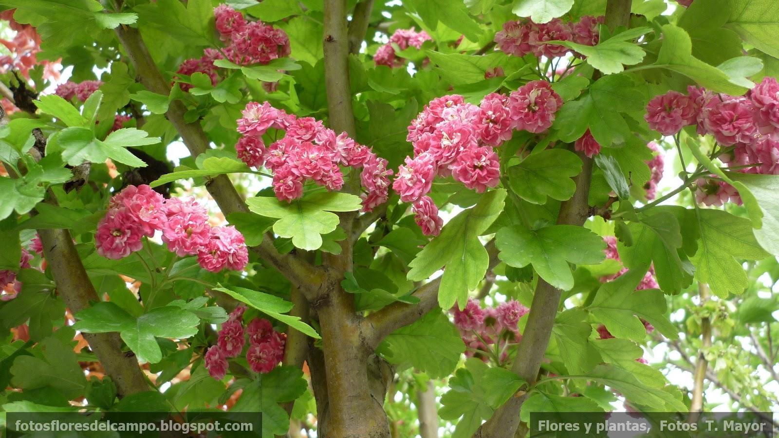 Cephaleuros virescens photos on Flickr | Flickr