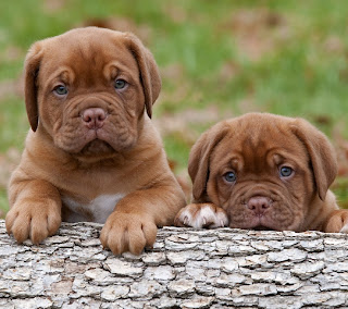Puppies wallpaper for mobile phones.