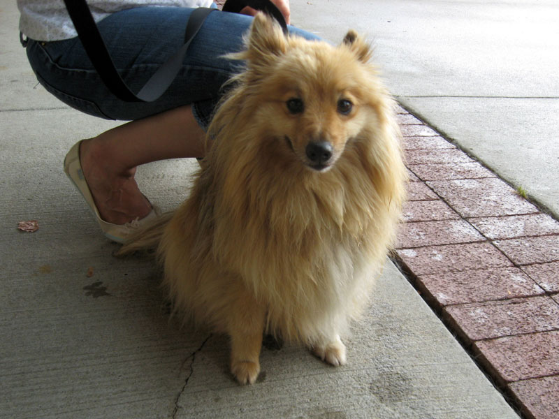 Pomeranian Sheltie Mix Part sheltie, part pomeranian,