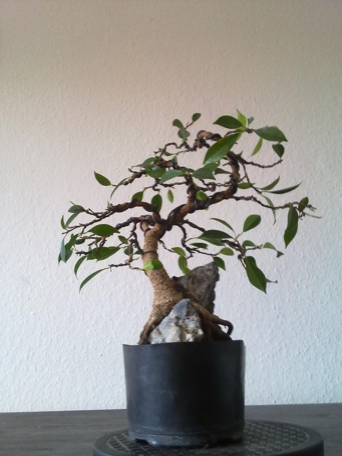 bonsai ficus microcarpa lorbeerfeige gestaltung. Black Bedroom Furniture Sets. Home Design Ideas