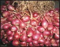 budidaya,bawang, merah, cara, menanam, tanam