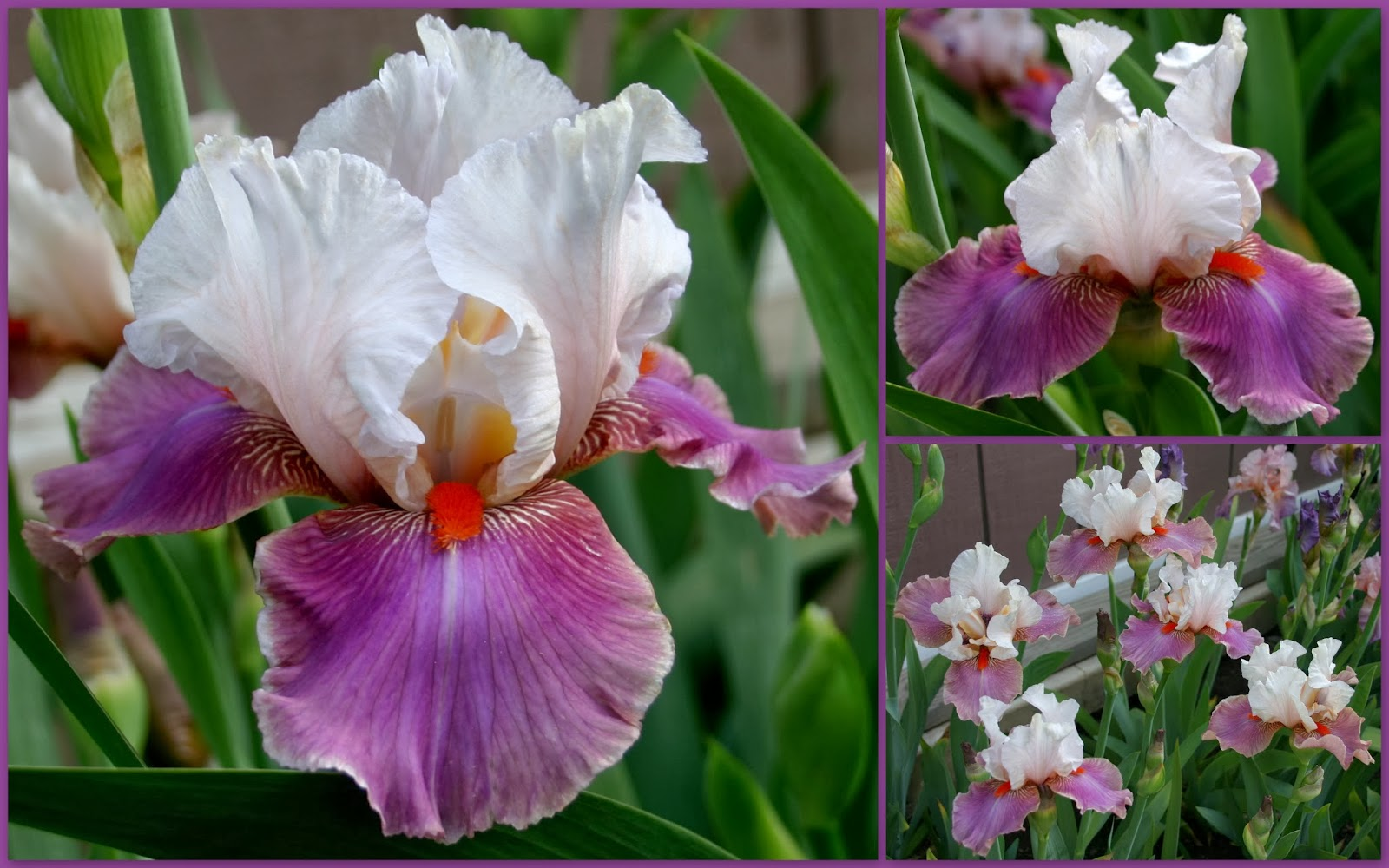 Tall bearded iris blooms sowing the seeds tall bearded iris blooms izmirmasajfo Images