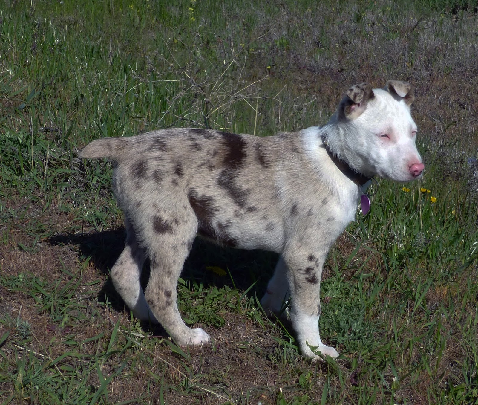 Hanging tree cow dogs for sale - Hanging Tree Cattle Dogs Photos