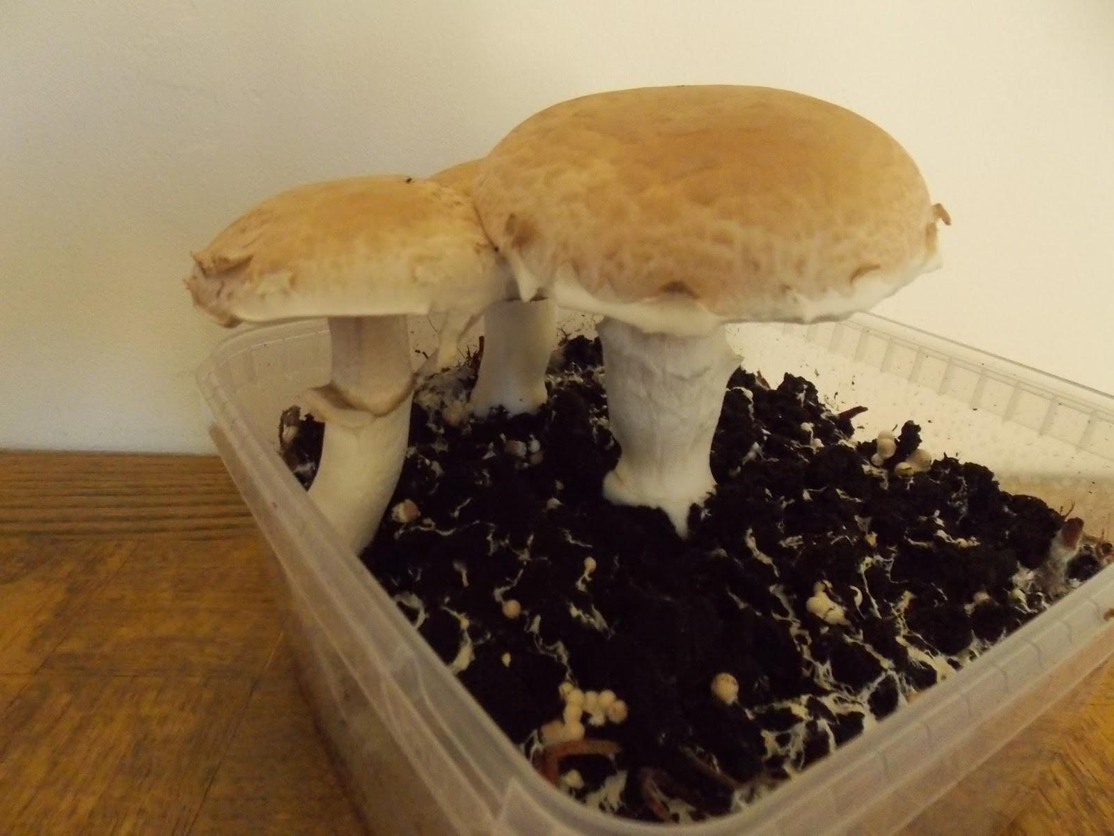 ecolo bio nature permaculture urbaine et jardinage bio cultiver des champignons dans sa cuisine. Black Bedroom Furniture Sets. Home Design Ideas