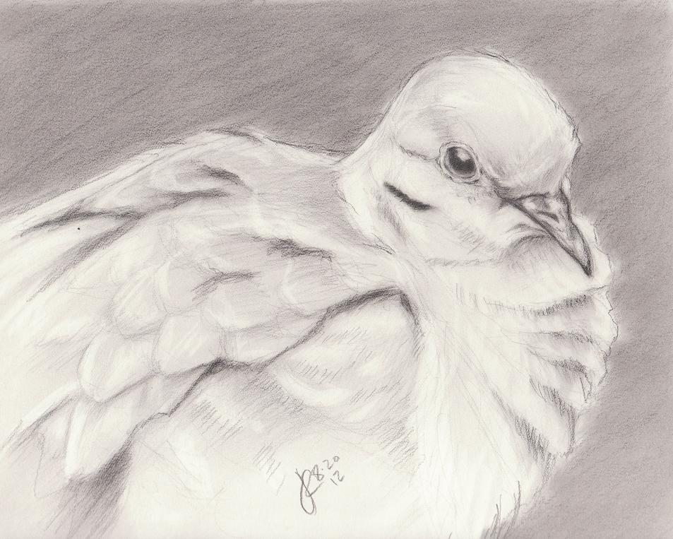 the gallery for gt dove drawings in pencil