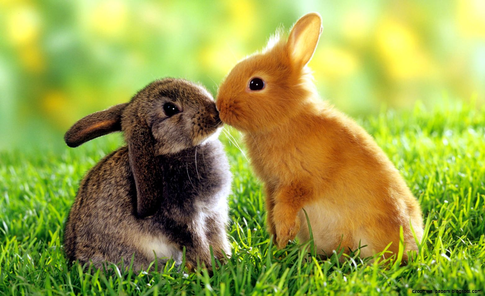 Hd Cute Animals Rabbits Kissing   1680x1050 iWallHD   Wallpaper HD